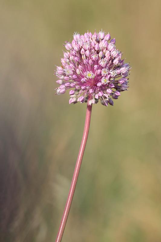 Flor del Allium ampeloprasum. Inflorecencia de forma esférica y color rosa