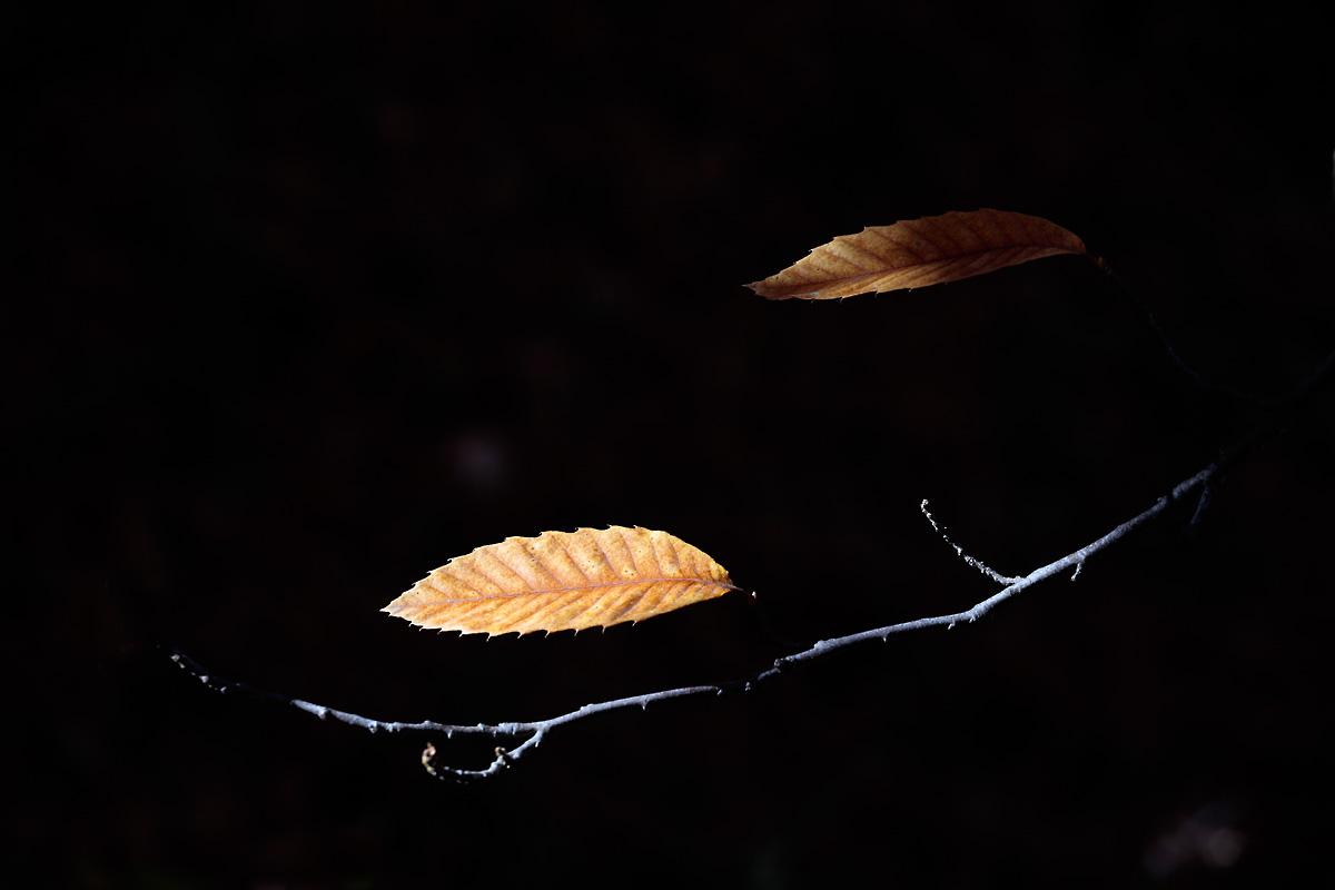 Hojas secas de castaño en la rama del árbol
