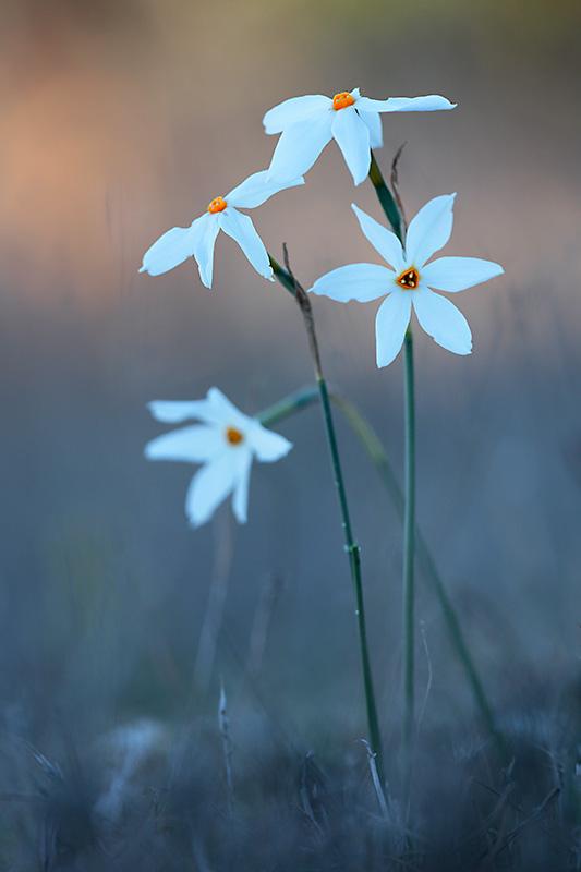 Narcissus obsoletus