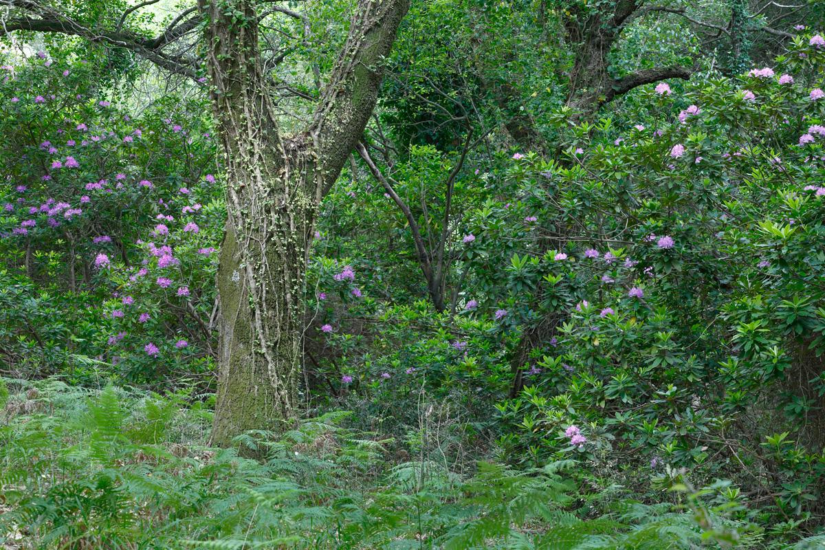 Rododendros ( Rhododendron ponticum) flor en medio de un bosque de quejigos (Quercus canariensis)