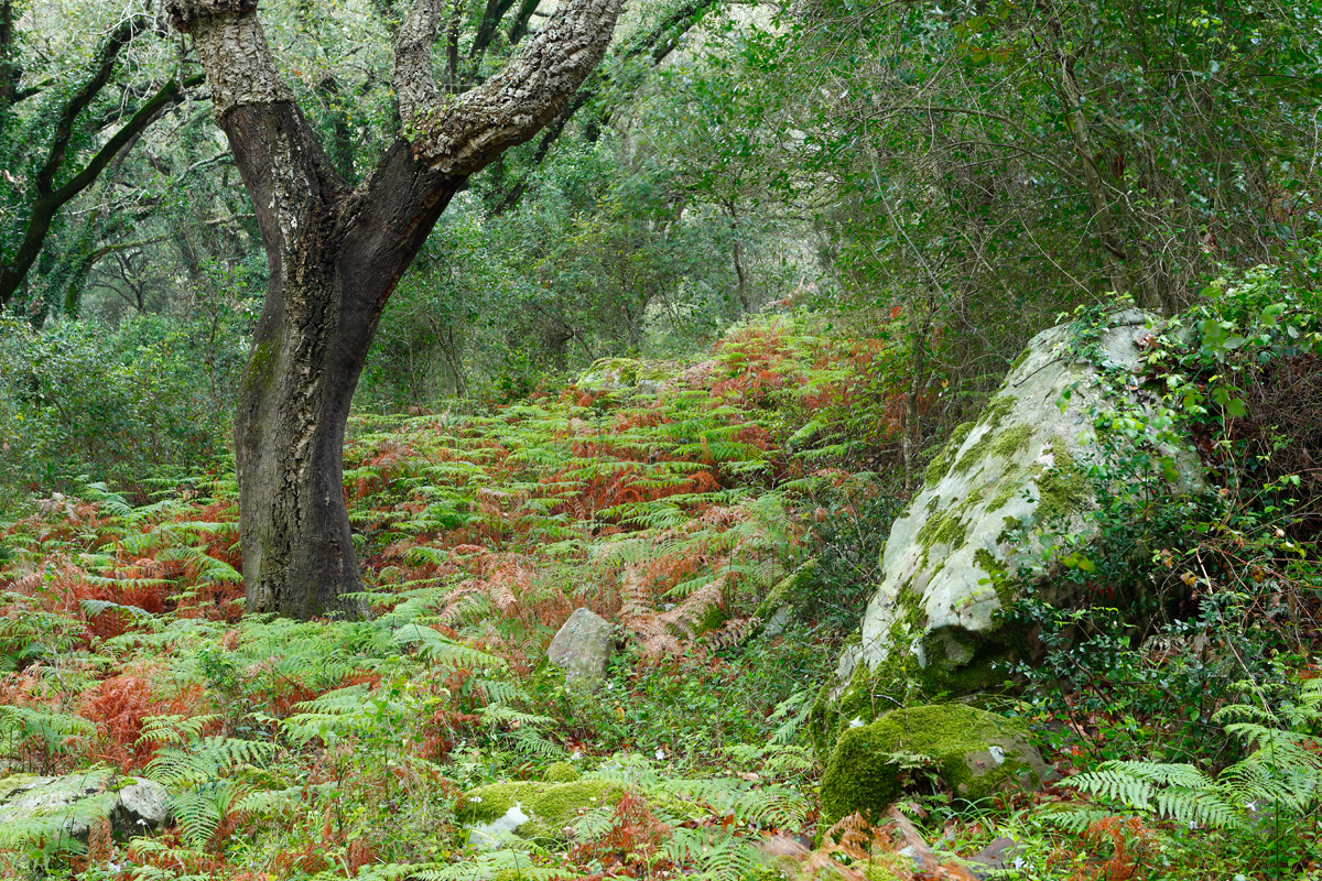 Extensión de helechos verdes y rojos y ejemplar Alcornoque (Quercus suber )