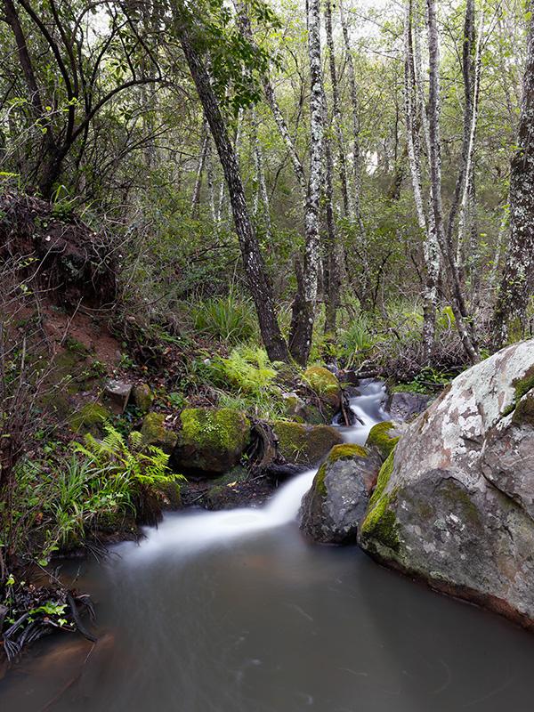 Arroyo serpenteando entre rocas. helechos y alisos (Alnus glutinosa)