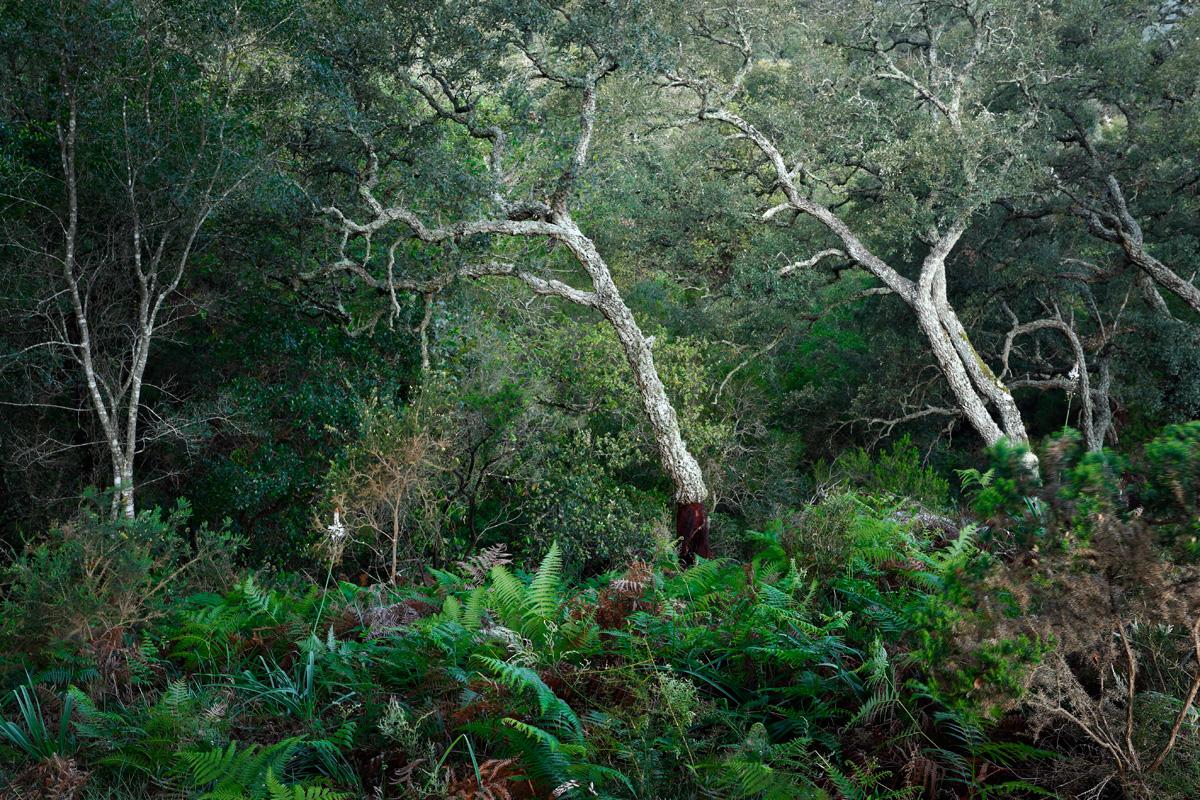 Ejemplares jóvenes de alcornoques (Quercus suber) sobresaliendo entre helechos verdes arbustos