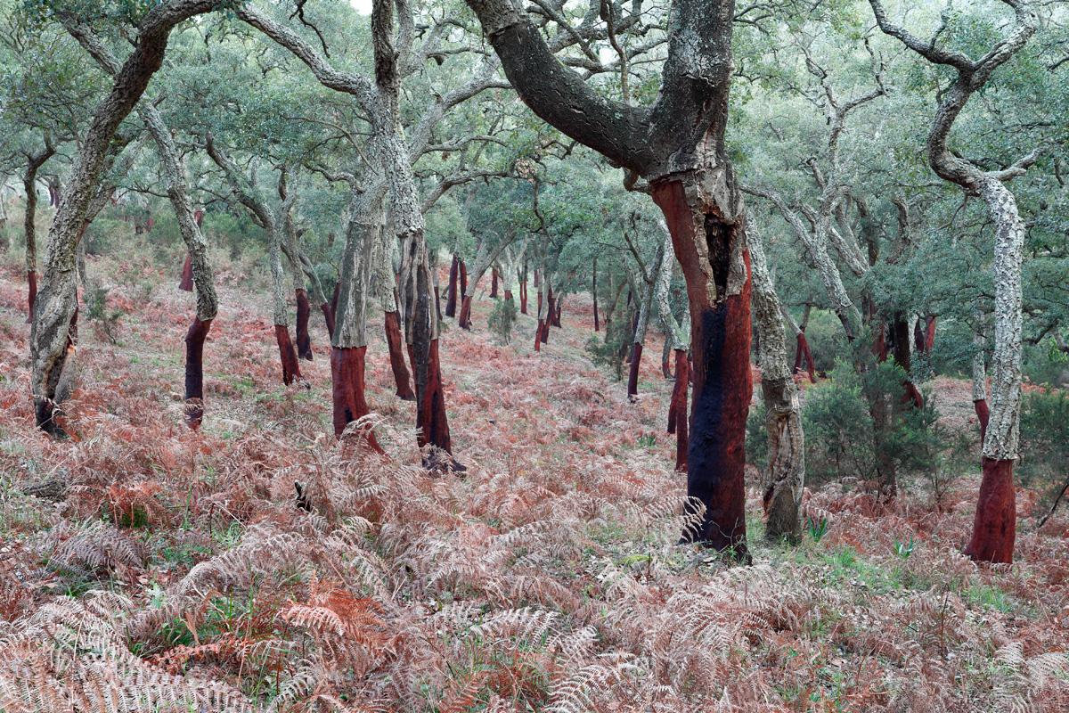 pequeño bosque de alcornoques (Quercus suber)